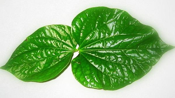 chữa viêm lợi bằng lá trầu không, chữa viêm lợi bằng lá trầu, cách chữa viêm lợi bằng lá trầu, lá trầu không chữa viêm lợi