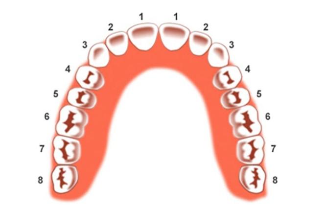đánh số răng, đánh số răng sữa, cách đánh số răng, cách đánh số răng người, đánh số hàm răng, đánh số cung răng, đánh số các răng, cách đánh số răng người lớn, cách đánh số răng trẻ em, cách đánh số răng sữa, quy định đánh số răng, quy tắc đánh số răng, vị trí đánh số răng